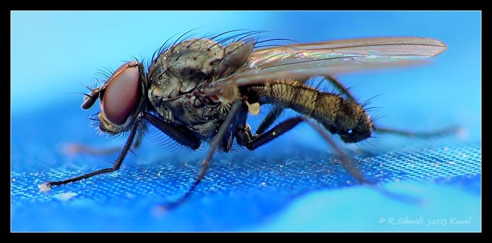 Fliege auf blau