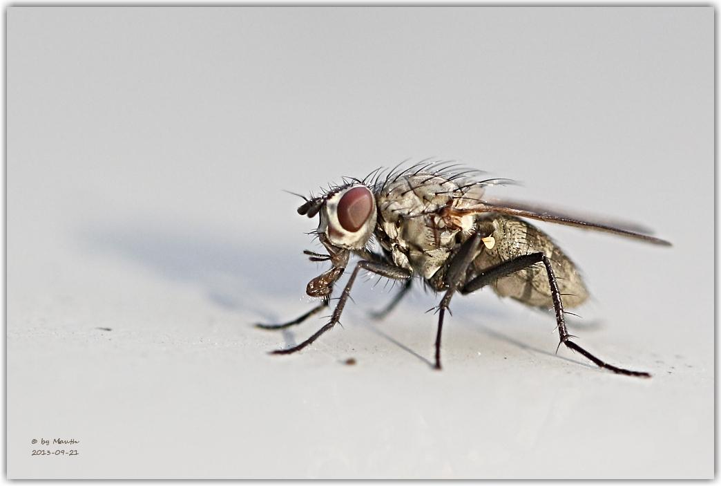 Fliege auf dem Autodach