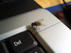 Fliege auf dem Laptop