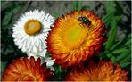 Fliege auf der Blüte