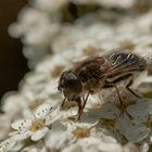 Fliege auf der Blume.