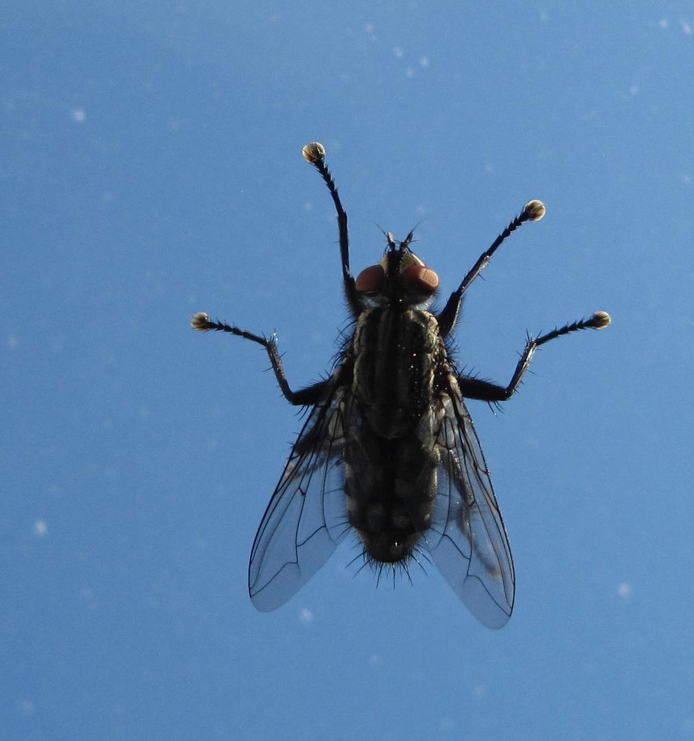 Fliege auf der Fensterscheibe