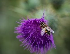 Fliege auf Diestelblüte     DSC_0052