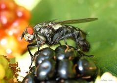 Fliege auf einer Brombeere