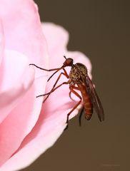 Fliege auf einer Rose