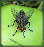 Fliege auf Fallobst