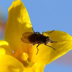 Fliege auf Forsythie