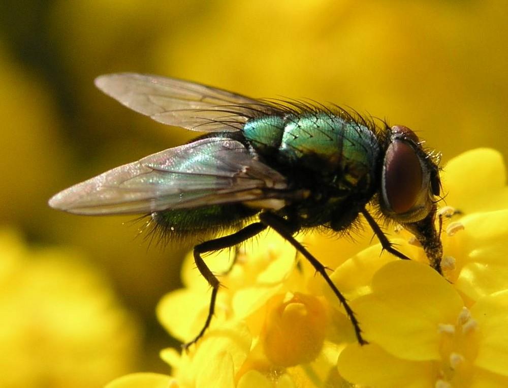 Fliege auf Gelb
