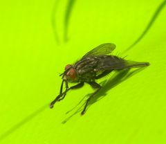 Fliege auf Grün