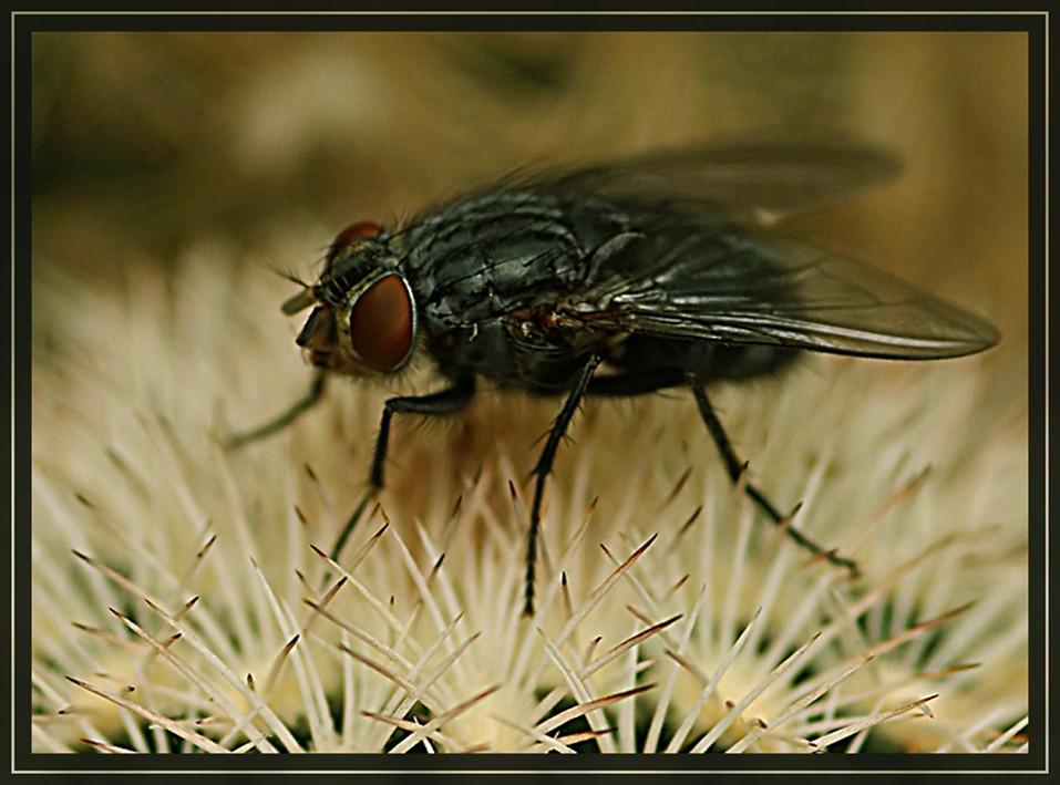 Fliege auf Kaktus