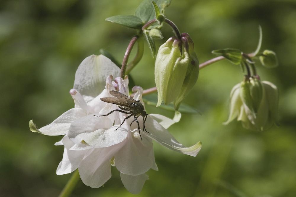 Fliege auf Nahrungssuche