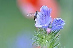 Fliege auf Natternkopf