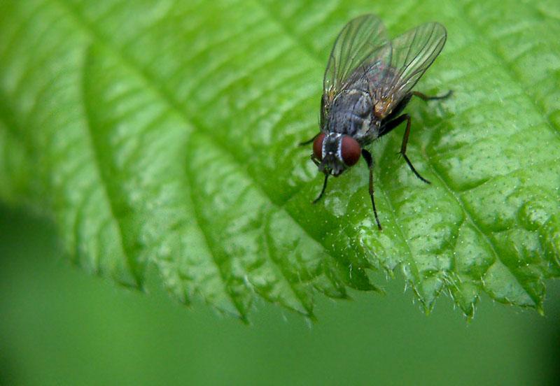 Fliege auf `nem Blatt...