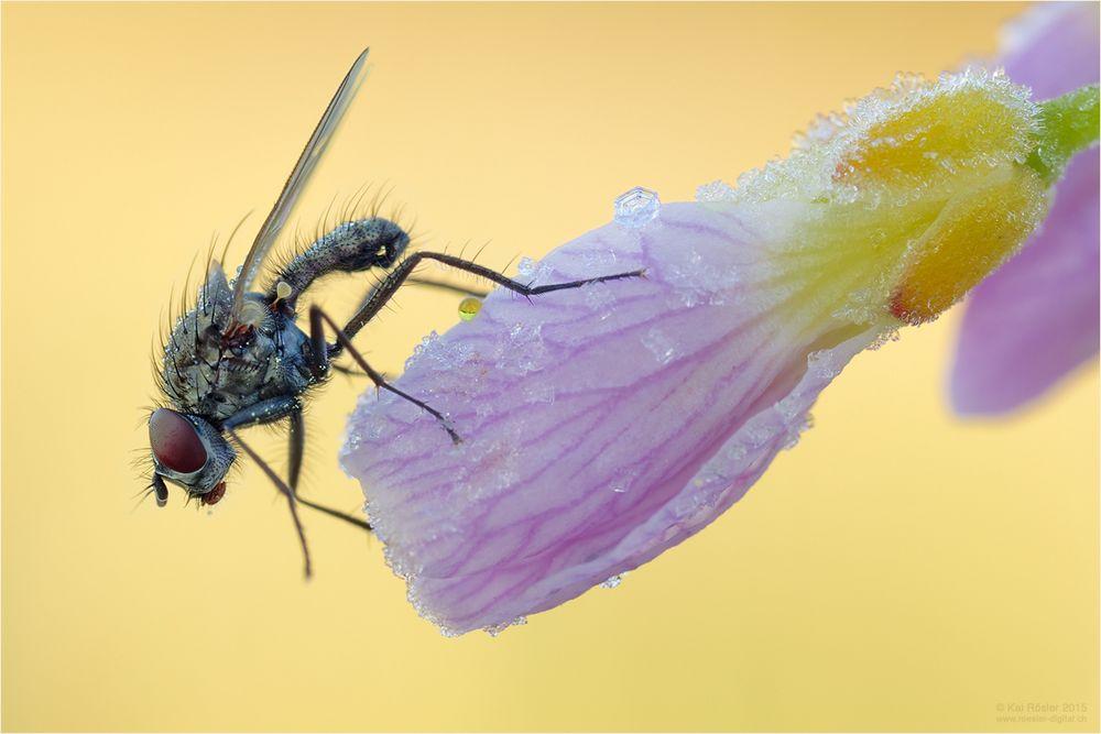 Fliege auf Raureif