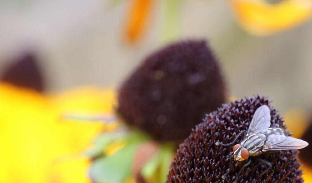 Fliege auf Sonnenhut - Herbstimpression