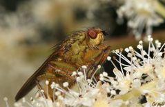 """~ Fliege auf """"Wald-Geißbart-Rispe (Aruncus dioicus)"""" ~"""