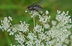 Fliege auf wilder Möhre 2