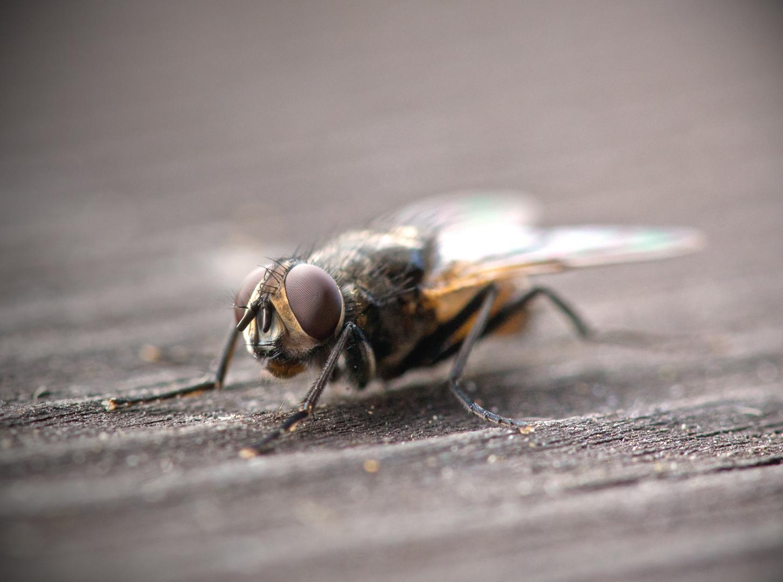 Fliege banal