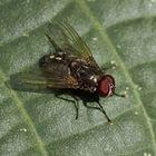 Fliege