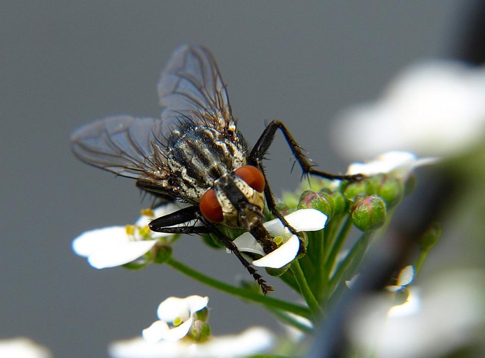 Fliege bei der Arbeit