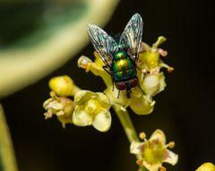 Fliege     DSC_0062-2