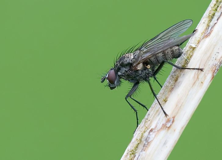 Fliege....