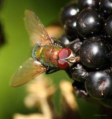 Fliege genießt den Saft einer Brombeere