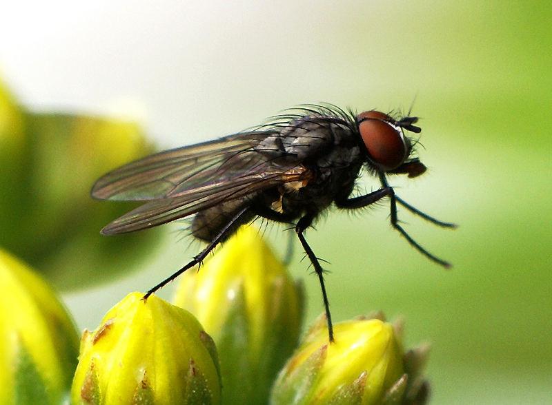 Fliege II