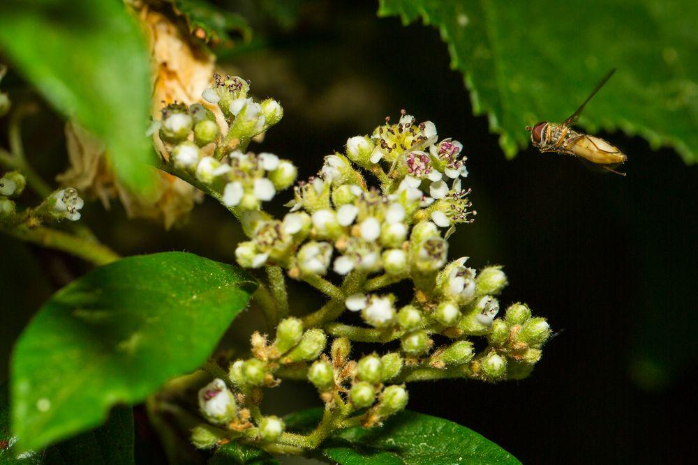 Fliege im Anflug auf eine Blüte