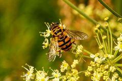 Fliege im Bienenkleid