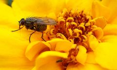 Fliege im Blütenrausch...