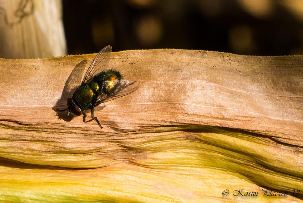 Fliege im Mais