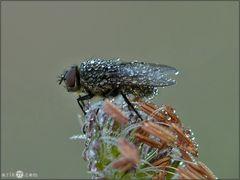 Fliege im Perlenkleid