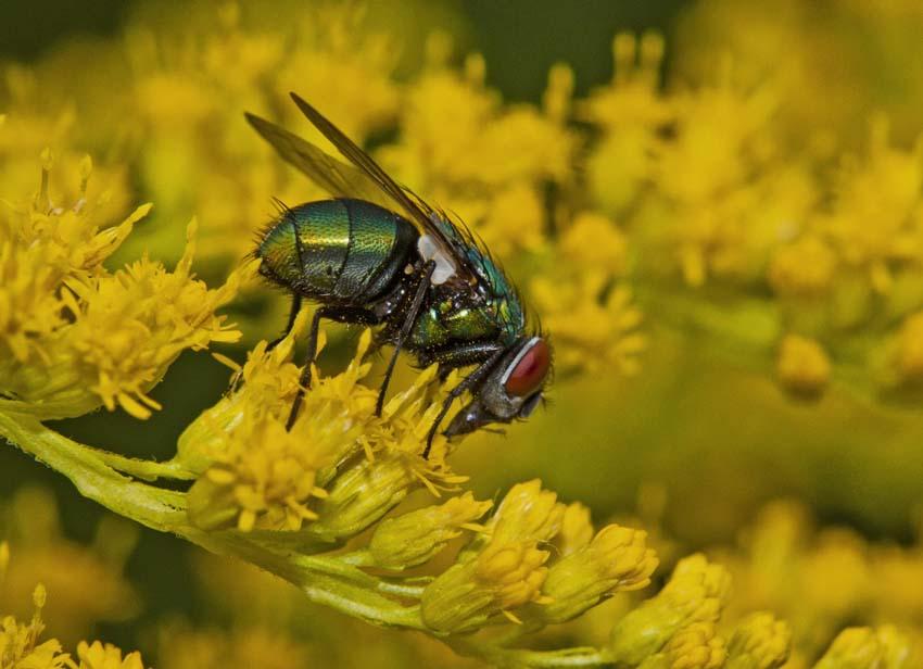 Fliege in der Goldrute
