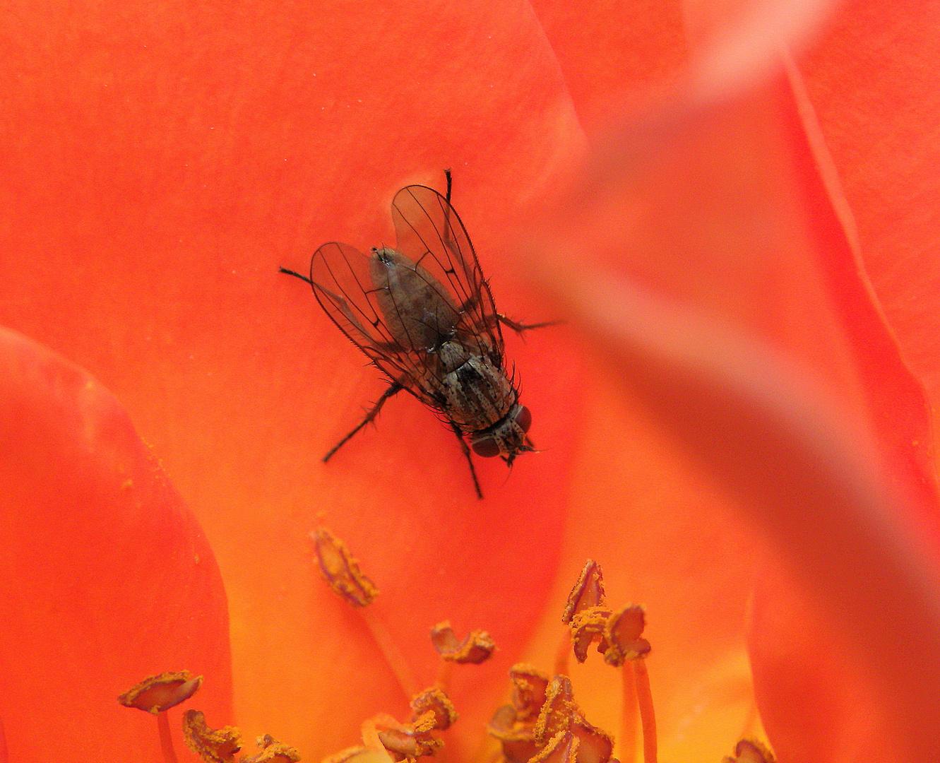 Fliege in Rosenblüte