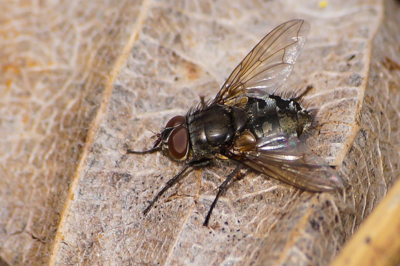 Fliege Macro
