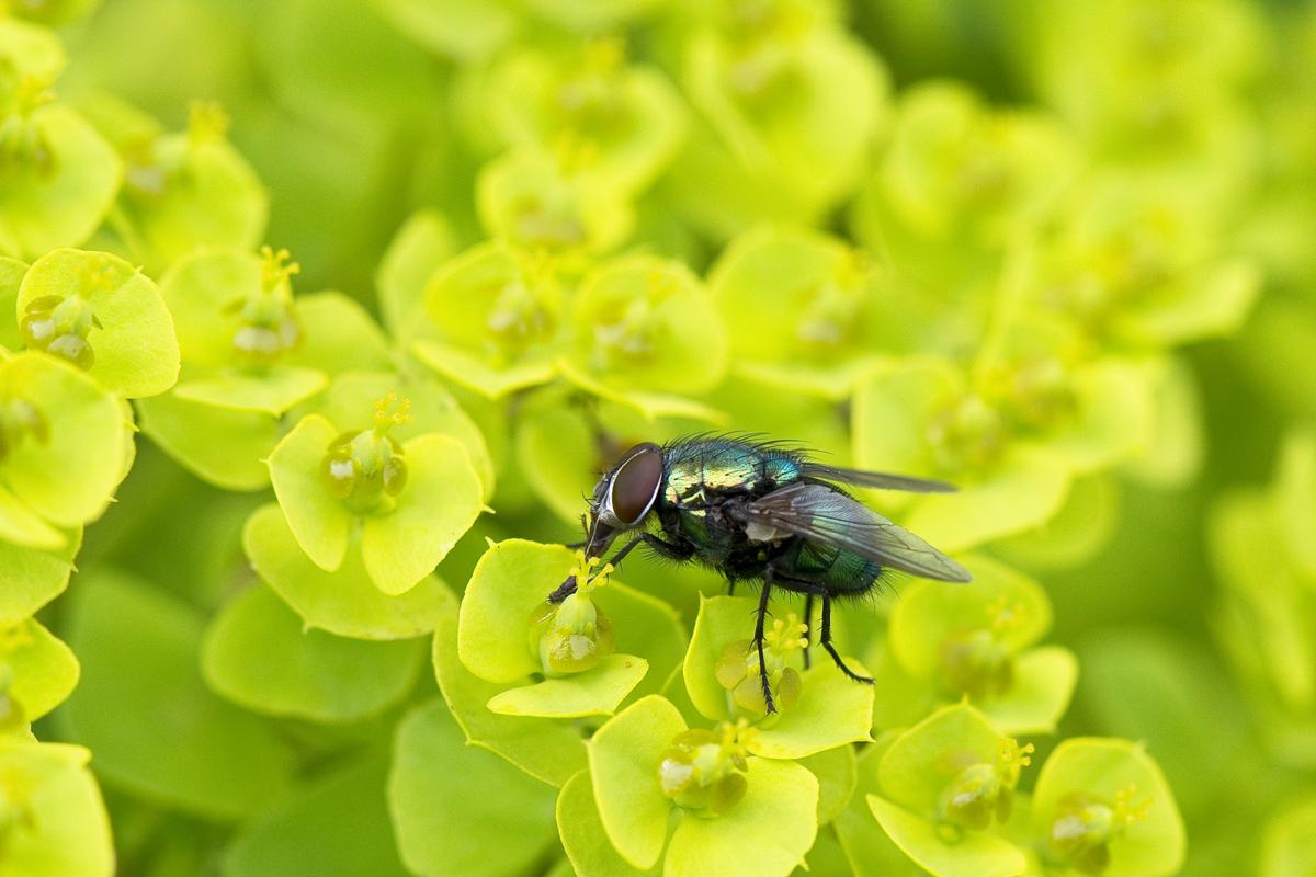 Fliege Makro I