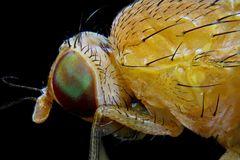 Fliege - Mikroskopaufnahme