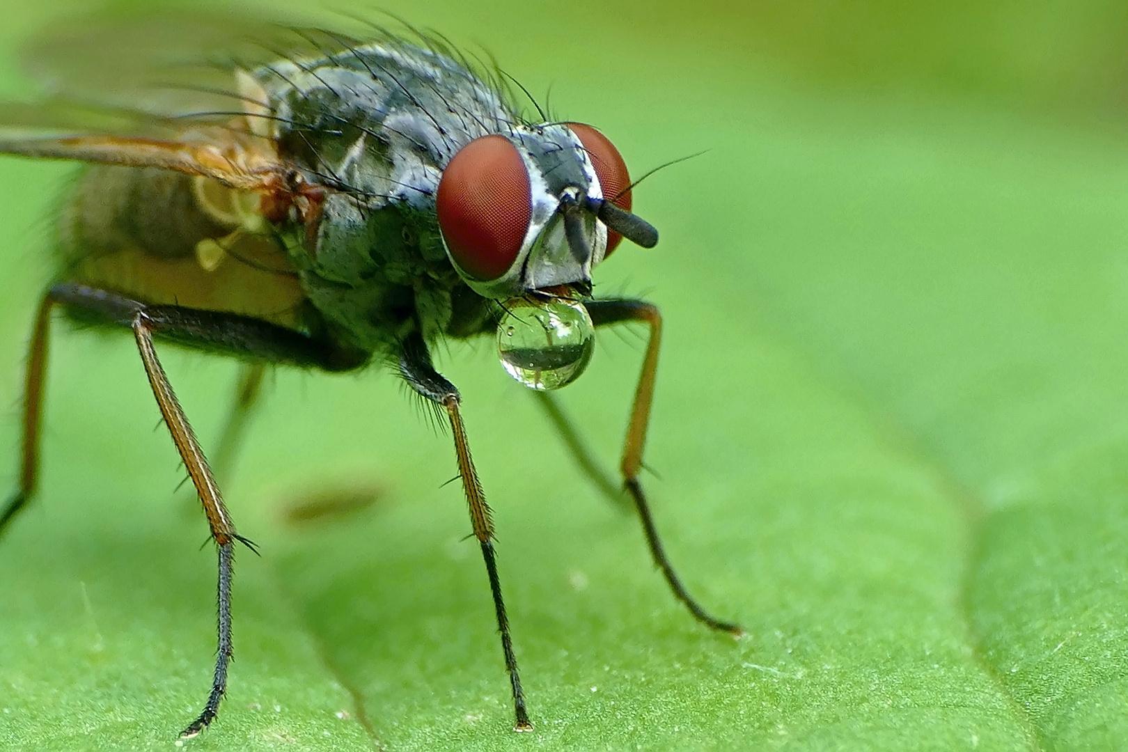 Fliege mit Blase