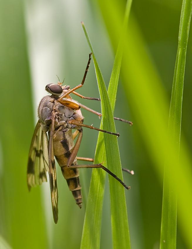 Fliege mit Flügelschaden