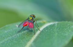 Fliege mit Milben