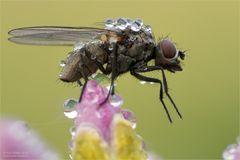 Fliege mit Nass