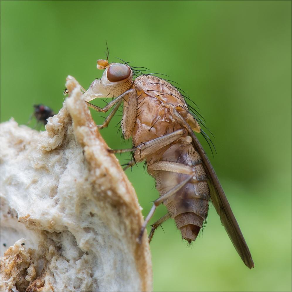 Fliege nascht am Pilz