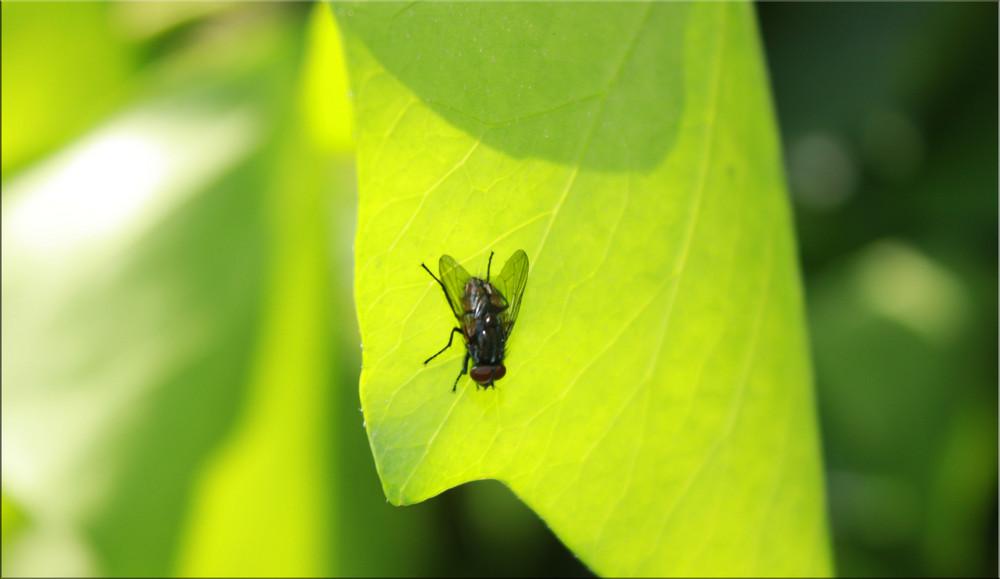 Fliege ruht sich auf einem Blatt aus