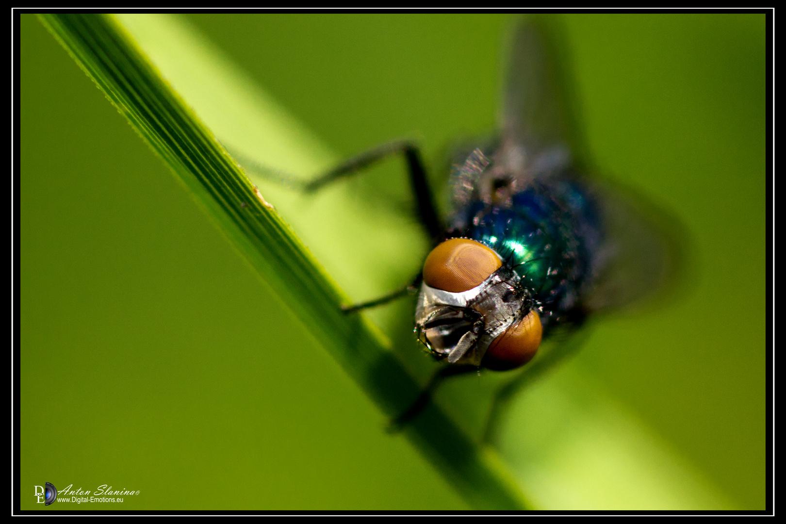 Fliege schau mal her.