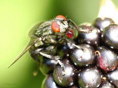 Fliege schlürft Brombeersaft