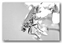 Fliege schwarz - weiß