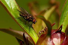 Fliege und Ameise an der Pfingstrose