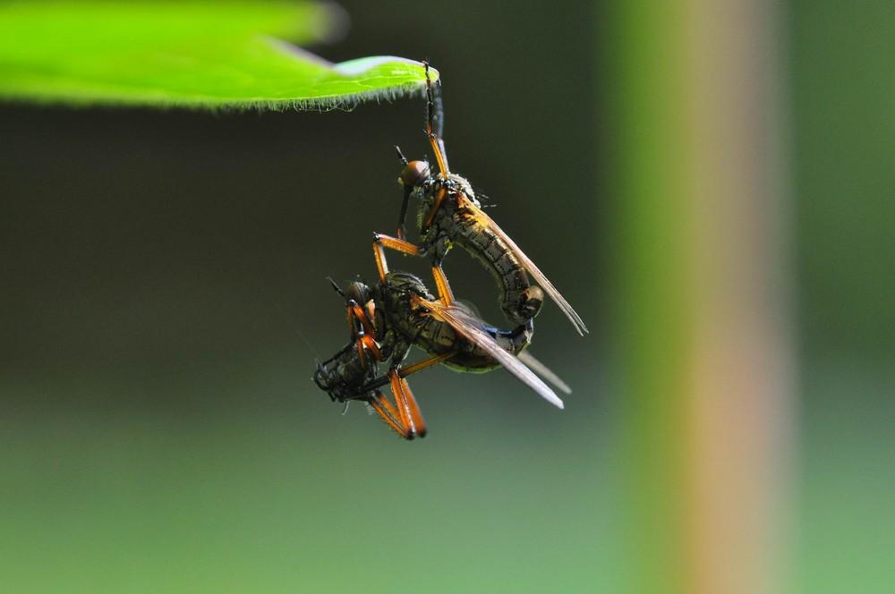 Fliegen-Kamasutra