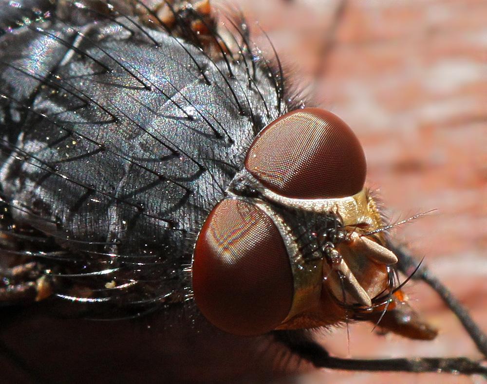 Fliegen-Porträt